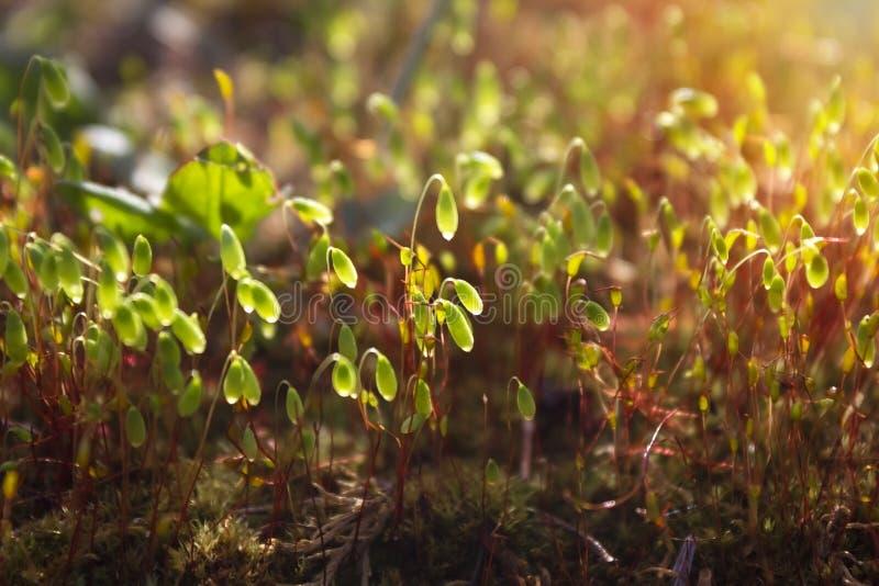 Een foto van de mooie groene jonge spruiten van het de lentemos in het zonlicht Close-up gestemde foto van mos Romantische ochten royalty-vrije stock afbeelding