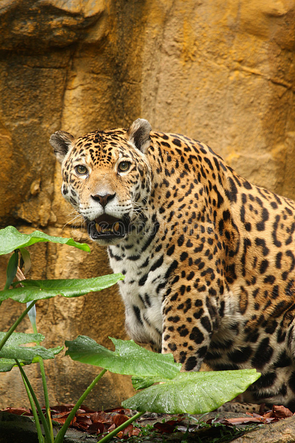 Een foto van een mannelijke jaguar royalty-vrije stock foto