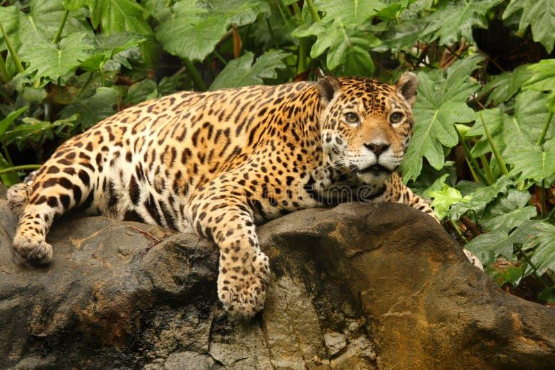 Een foto van een mannelijke jaguar royalty-vrije stock afbeeldingen