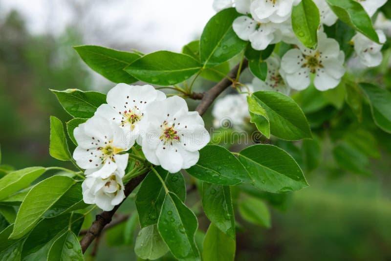 Een foto van een tak van een bloeiende perenboom Macro het schieten de lente witte bloemen van peer stock afbeelding