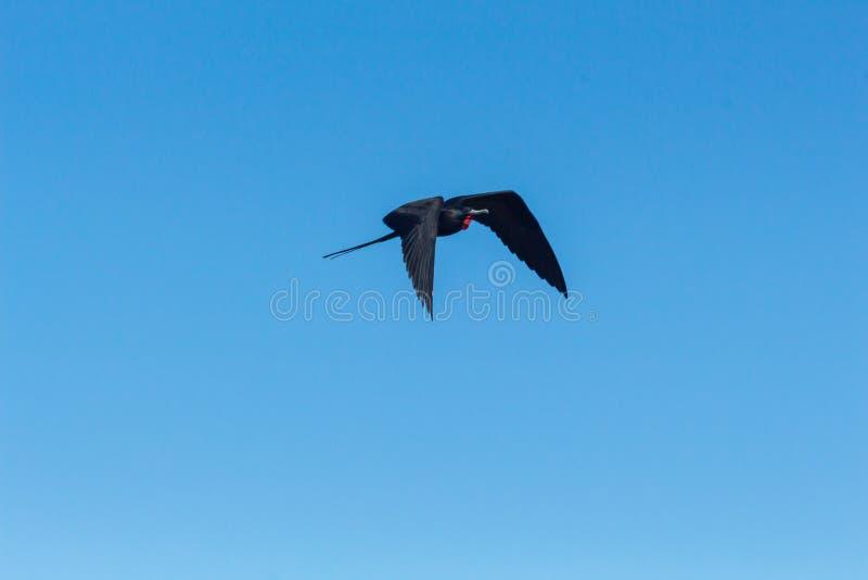 Een fregat vliegt in de blauwe hemel van de Galapagos stock afbeelding