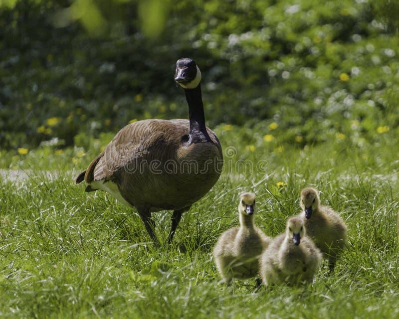 Een gans van Canada en haar babys die in het gras lopen stock foto