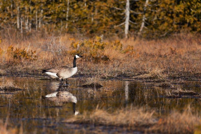 Een Gans van Canada in een moeras in Ontario, Canada royalty-vrije stock afbeeldingen