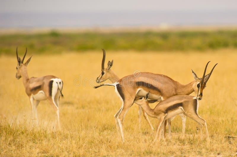 Een gazelle die van moederThomson´s haar jong geitje verzorgt haar royalty-vrije stock foto's