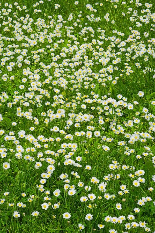 Een gazon van witte bloemen royalty-vrije stock fotografie