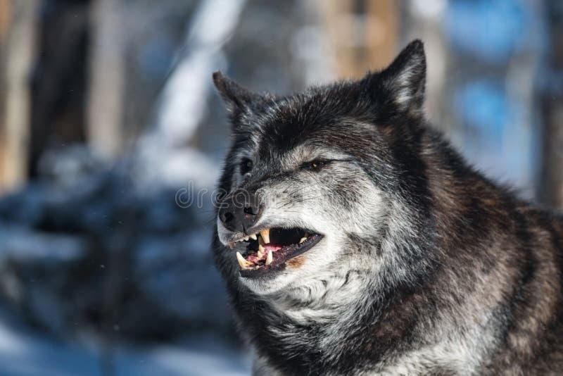 Een Geërgerd Hout Wolf Snarl royalty-vrije stock afbeelding