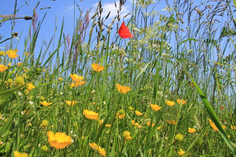 Een gebied met bloeiende boterbloemen en papaver bloeit in het park in de lente royalty-vrije stock foto's