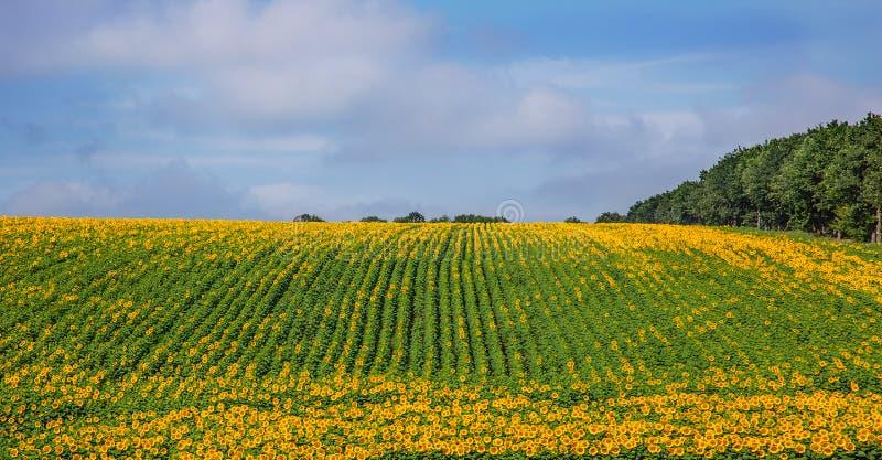 Een gebied van bloeiende zonnebloemen tegen een blauwe hemel op een zonnige dag royalty-vrije stock afbeelding