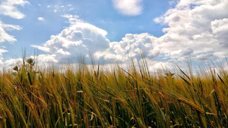 Een gebied van de de zomertarwe met nog groene aartjes van tarwe royalty-vrije stock foto
