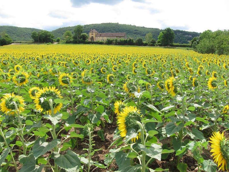 Een gebied van de zonbloem in Dordogne stock afbeeldingen