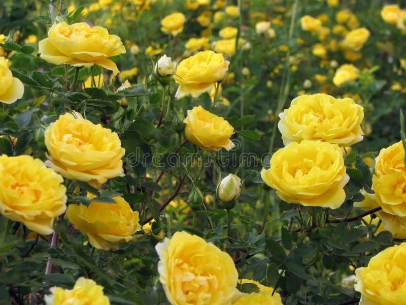 Een gebied van gele rozen stock afbeelding