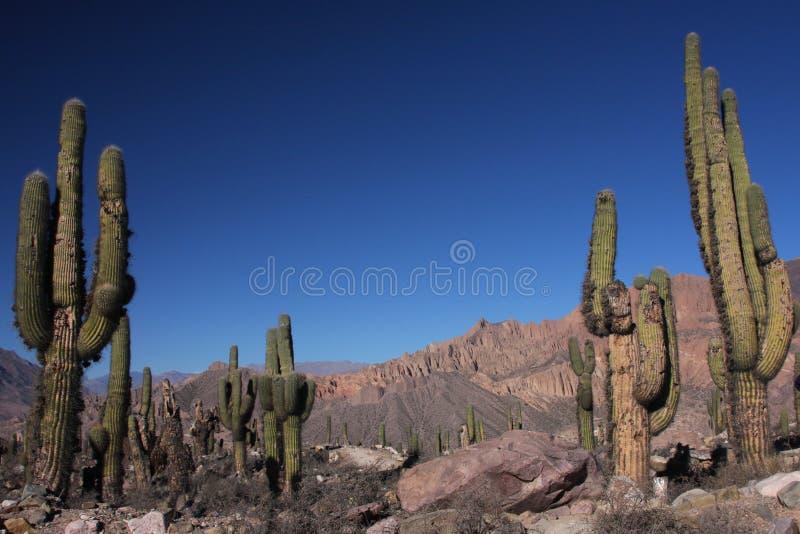 Een gebied van grote cactus stock foto