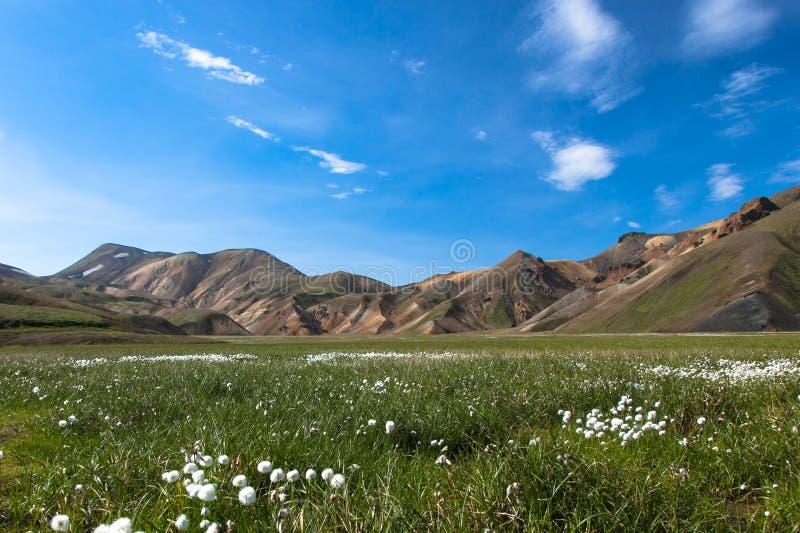Een gebied van katoenen gras katoenen witte flowersEriophorum in het gras tegen de blauwe hemel en de mooie bergen van IJsland royalty-vrije stock foto's