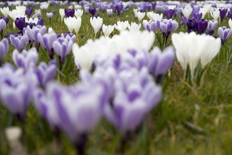 Een gebied van krokussen die in de vroege lente bloeien royalty-vrije stock foto