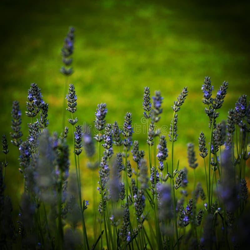 Een gebied van Lavendar stock fotografie