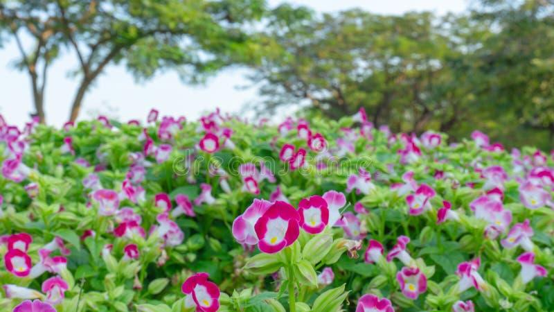 Een gebied van prettty roze bloemblaadjes die van Vorkbeenbloem op groene bladeren onder witte hemel bloeien, grote groene bomen  royalty-vrije stock afbeeldingen