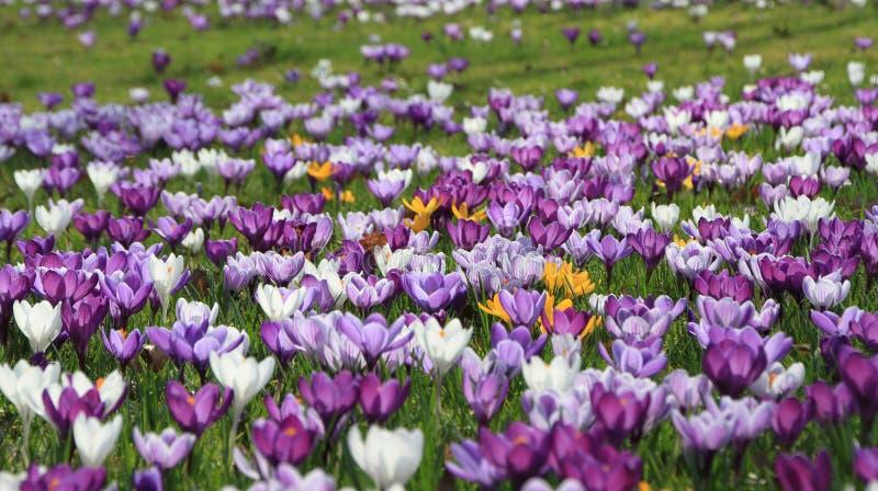 een gebied van pruplebloemen royalty-vrije stock afbeelding