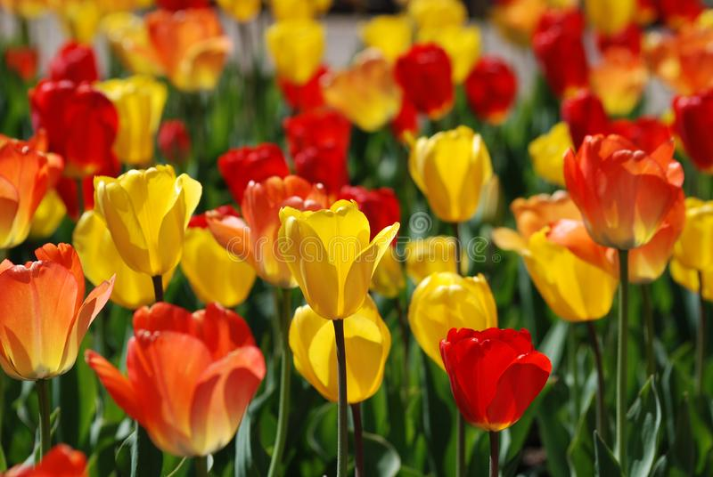 Een gebied van rode en gele tulpen in de lente royalty-vrije stock foto's