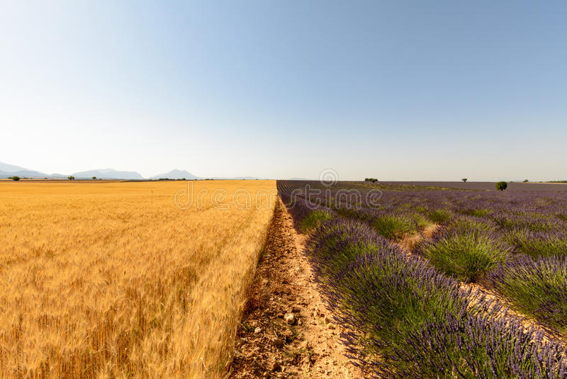 Een gebied van tarwe en lavendel in de Provence royalty-vrije stock afbeeldingen