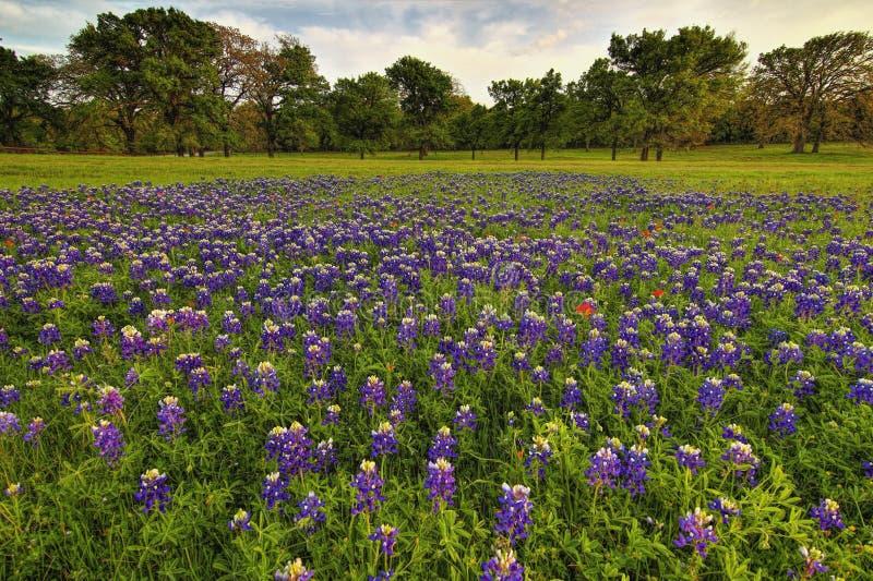 Een gebied van Texas Bluebonnets royalty-vrije stock foto's