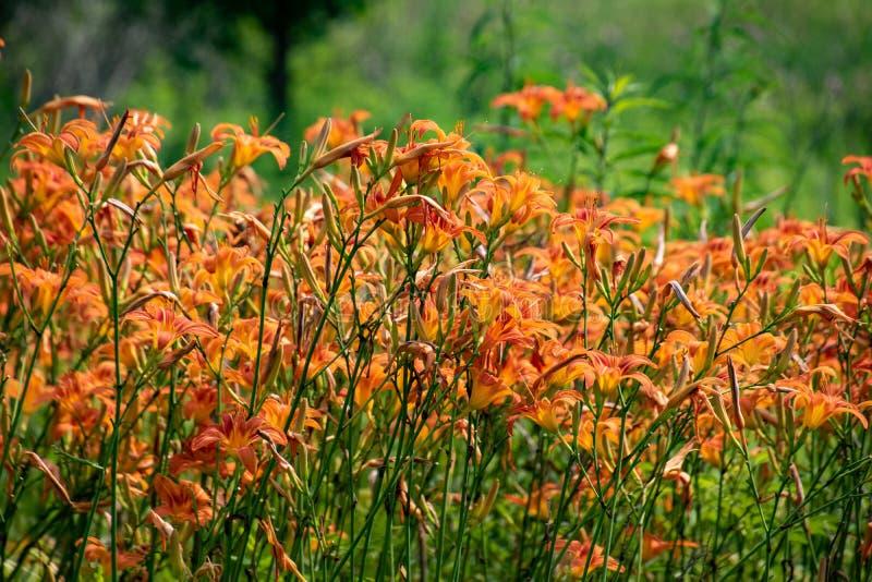 Een gebied van wilde oranje lelies stock afbeelding