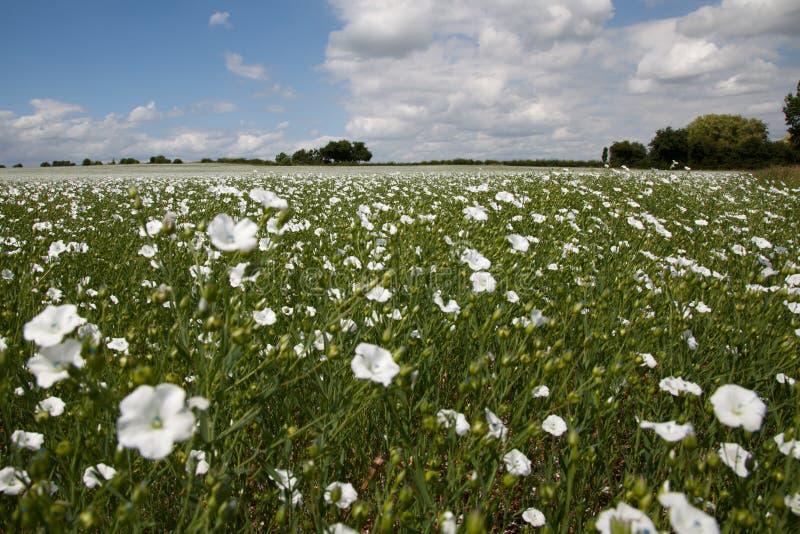 Een gebied van witte bloemen stock foto