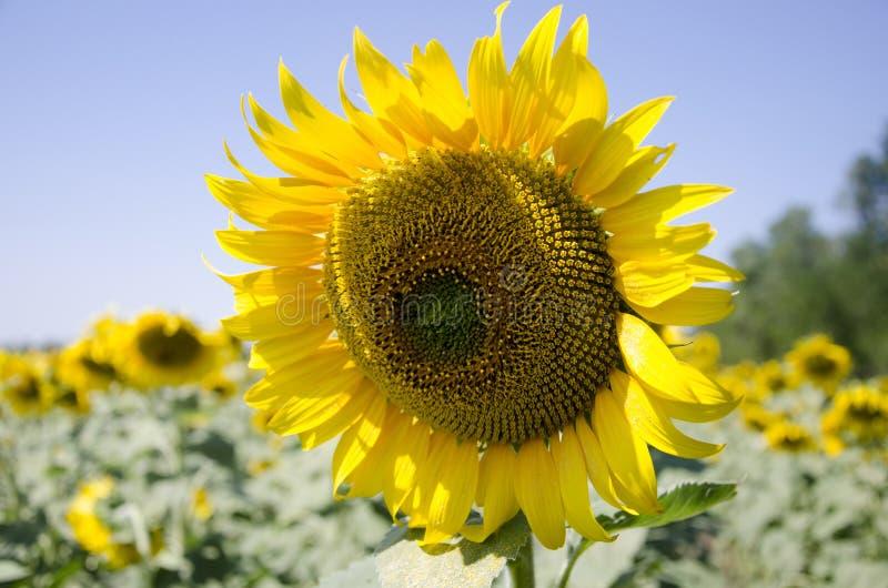 Een gebied van zonnebloemen royalty-vrije stock foto