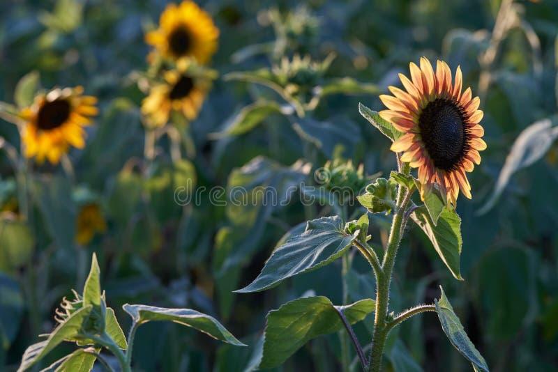 Een gebied van zonnebloemen in Raleigh royalty-vrije stock afbeeldingen