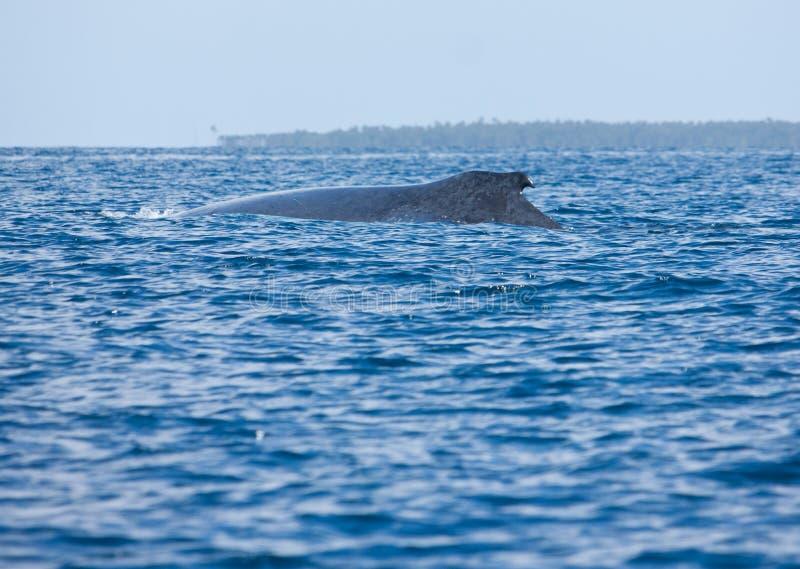 Een gebocheldewalvis in het overzees in Tonga stock afbeeldingen