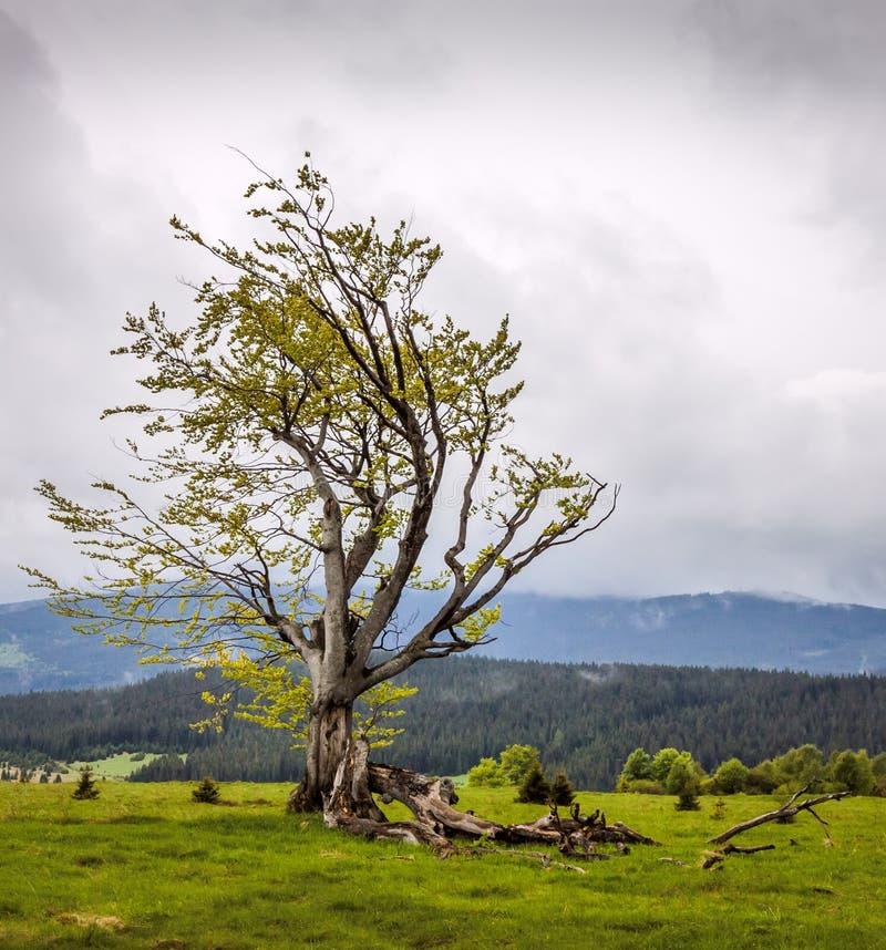 Een gebroken breedbladige boom op de heuvel in Sumava royalty-vrije stock afbeelding