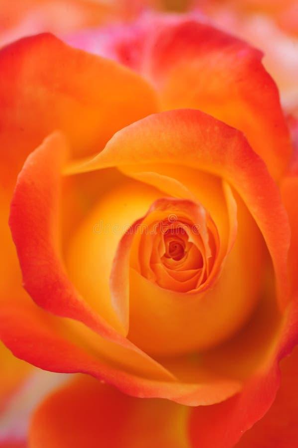 Een gedetailleerde mening van oranje roze bloemblaadjes in een cirkelpatroon stock foto's