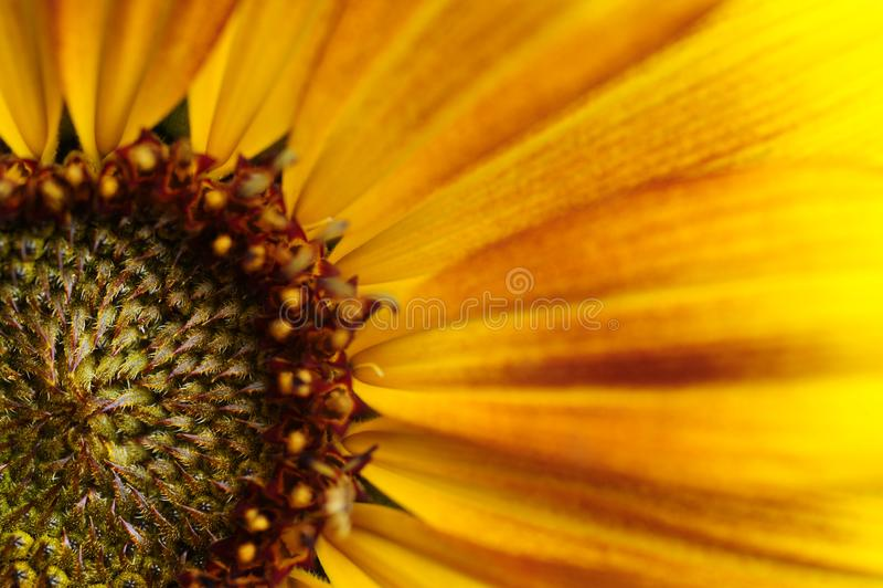Een gedetailleerde mening van een zonnebloem stock afbeeldingen