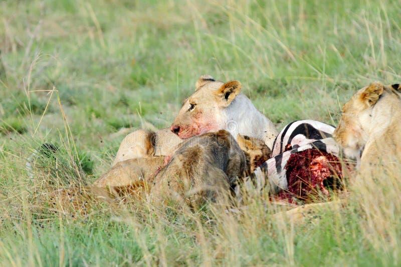 Een gedode Zebra en een leeuwin royalty-vrije stock foto's