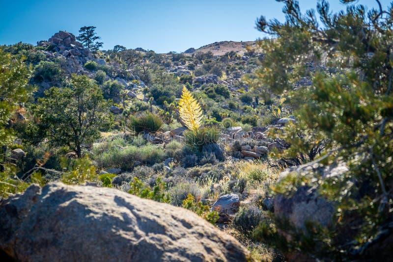 Een geelachtige Tamarack-Lariksboom in Joshua Tree National Park, Californië stock afbeelding