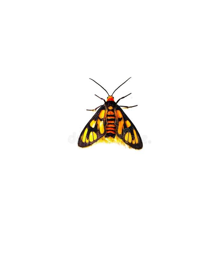 Een Geeloranje vlugge die mottenvlinder op witte achtergrond wordt geïsoleerd stock foto