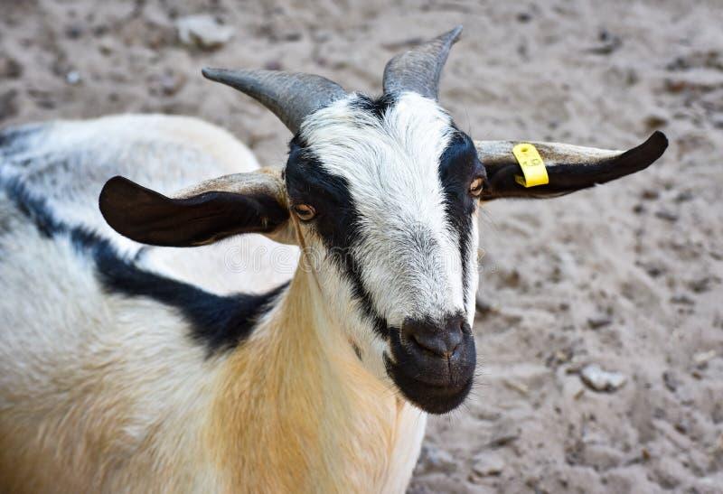 Een geit royalty-vrije stock fotografie