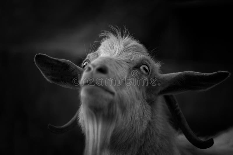 Een geit royalty-vrije stock afbeelding