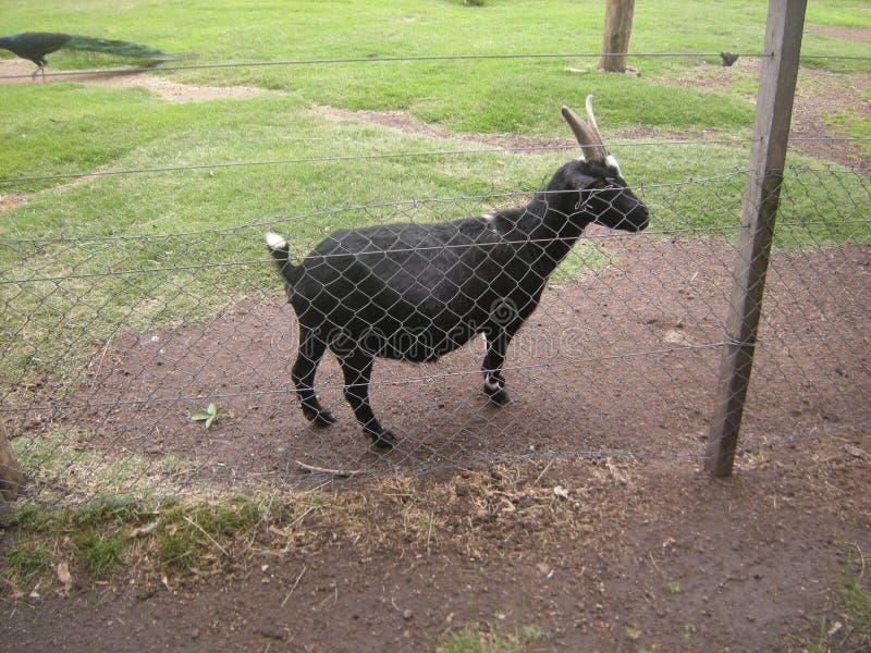 Een geit in een dierentuin of een park stock foto