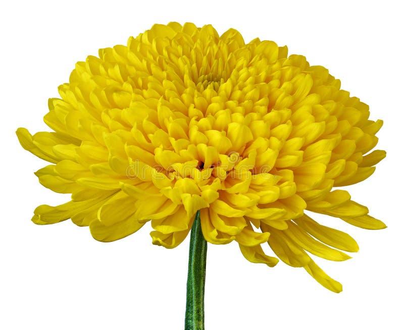 Een gele die Chrysantenbloem op een witte achtergrond wordt geïsoleerd Close-up Bloemknop op een groene stam royalty-vrije stock foto's