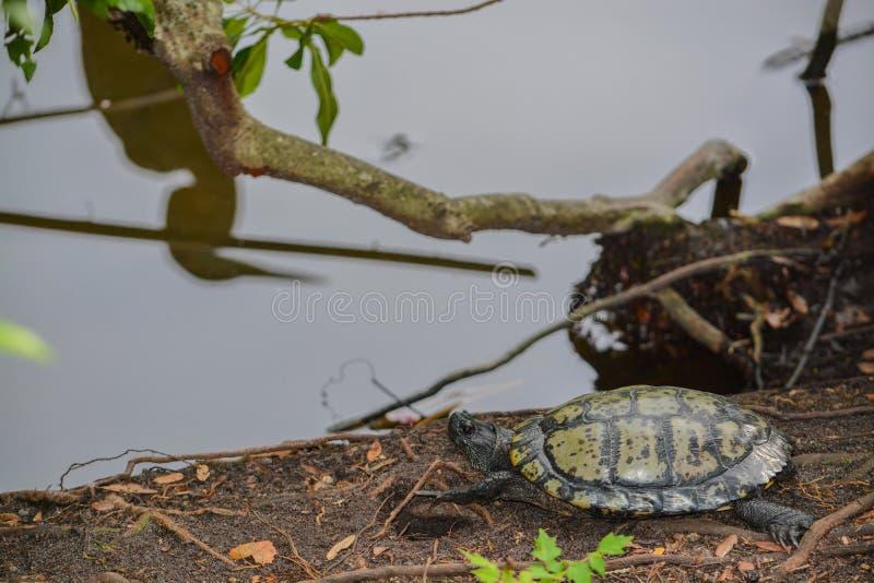 Een Gele Doen zwellen Schildpad van scriptascripta van Schuiftrachemys op de rand van een vijver bij het Park van de theMcGoughaa stock afbeeldingen