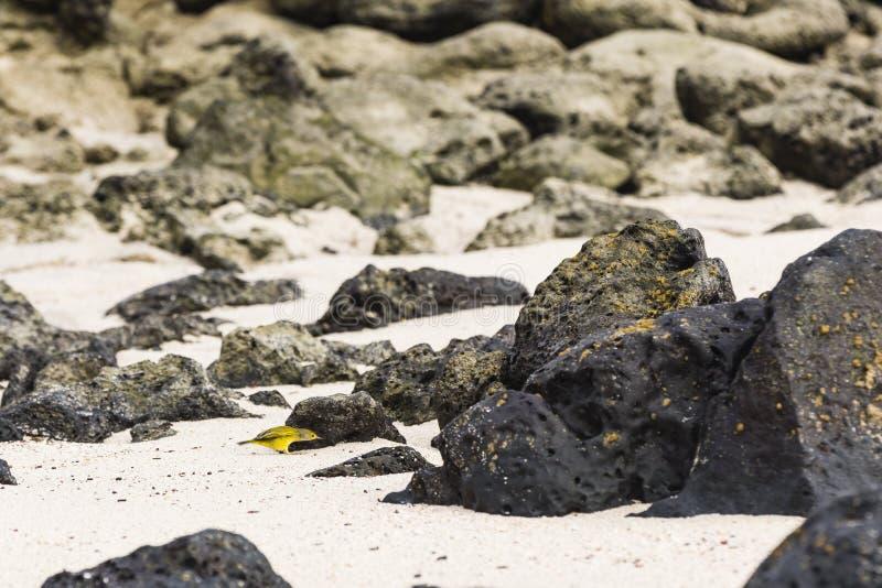 Een Gele Grasmus op zand royalty-vrije stock foto
