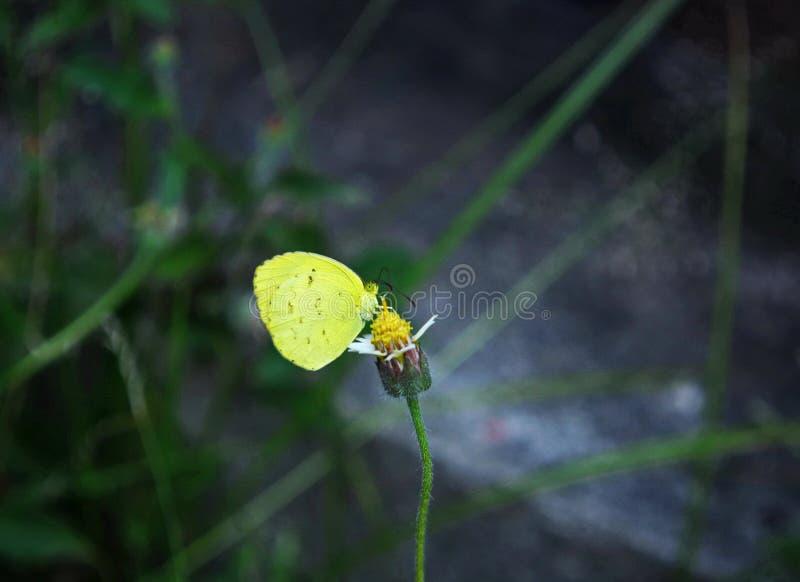 Een Gele Grasvlinder haalt nectar uit een Shaggy Soldier-onkruidbloem stock foto