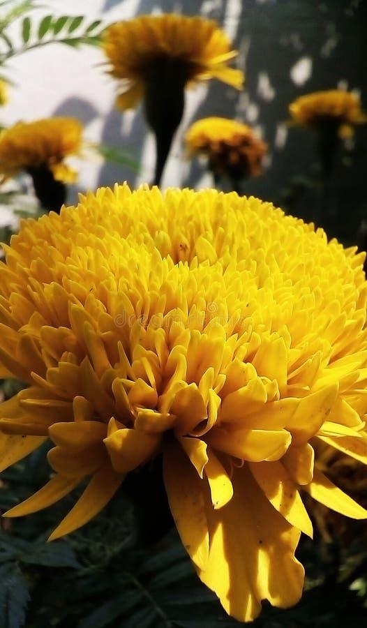Een gele jamanthy bloem van gardern royalty-vrije stock afbeeldingen