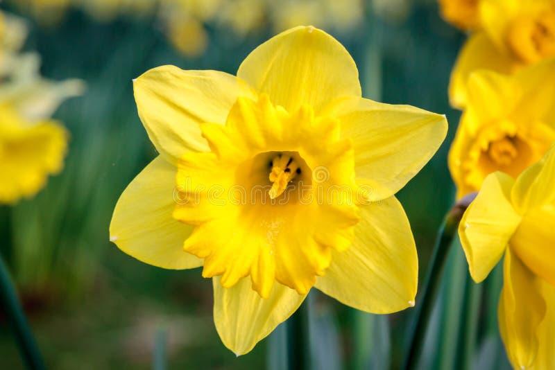 Een Gele narcis stock afbeeldingen