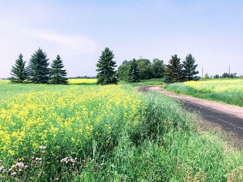 Een gele overzees van canolagebieden in Edmonton, Alberta, Canada stock fotografie
