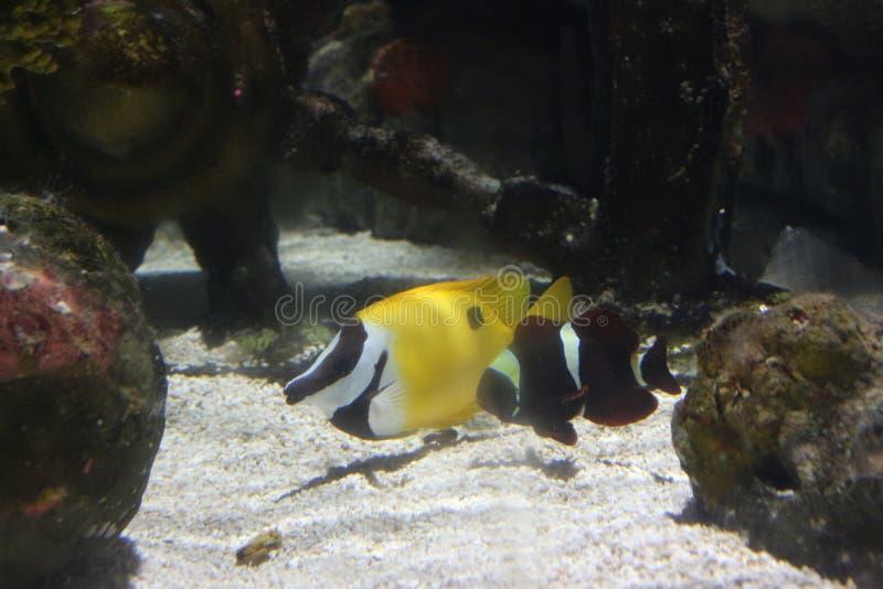 Een gele vis in diep van overzees royalty-vrije stock foto's