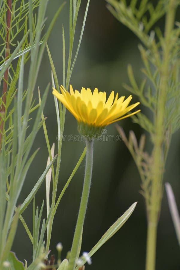 Een gele wilde bloemextra voordelen omhoog een kleine die tuin wordt ontworpen om Kolibries en Bijen aan te trekken stock foto