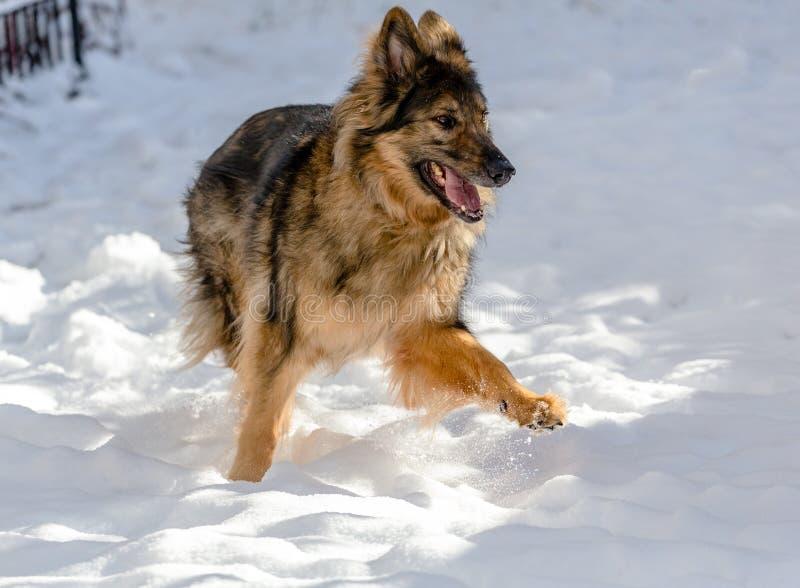 Een gelukkige hondlooppas in de sneeuw royalty-vrije stock fotografie