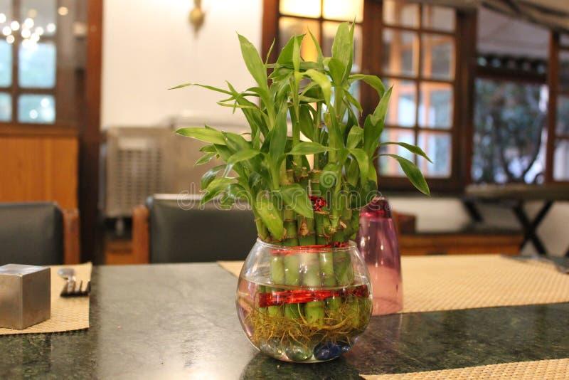 Een gelukkige installatie van bamboe feng shui stock afbeelding