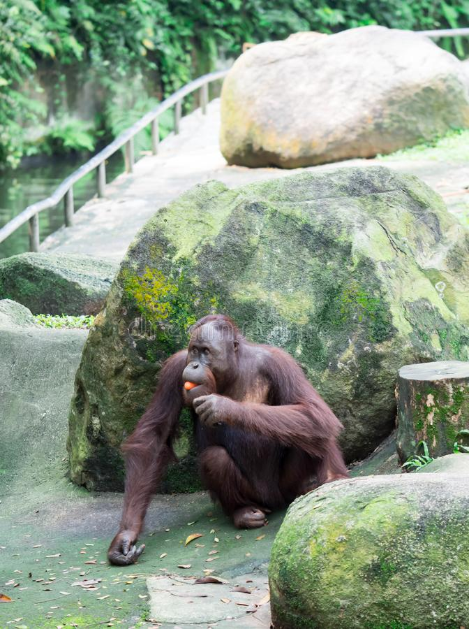 Een gemeenschappelijke chimpansee Panholbewoners terwijl het zitten van en het eten van fru royalty-vrije stock fotografie